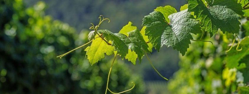 I vini della Valle d'Aosta